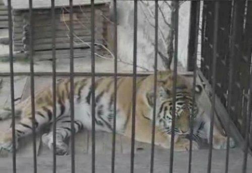 Тигрица моет лапы
