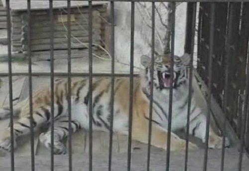 Тигрица зевает