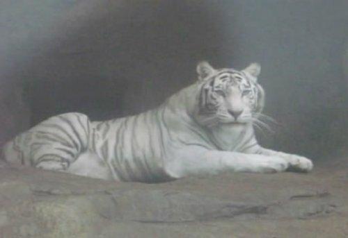 Белая тигрица умывается