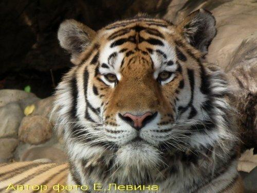 24 сентября – День тигра в Московском зоопарке