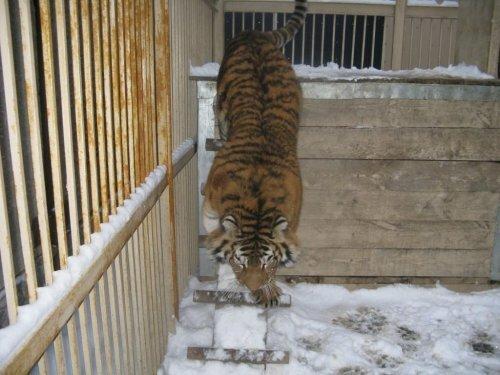 Тигриный ангел