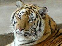 День амурского тигра и дальневосточного леопарда пройдет в Екатеринбургском зоопарке