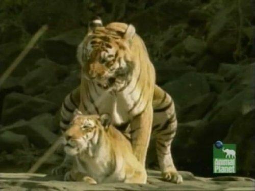 Спаривание тигров