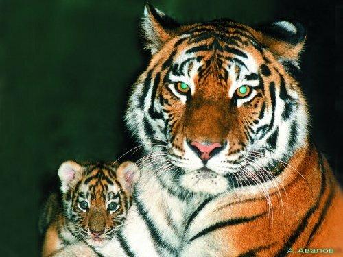 Тигры Московского зоопарка
