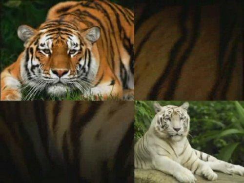 Тигриное слайд-шоу