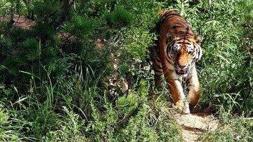 Российские ученые выбрали трех амурских тигров для передачи Ирану