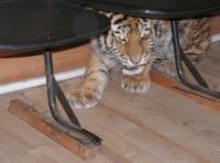 © Алексей Фролов (WWF России). Тигрята в полевом офисе WWF России в селе Чугуевка Приморского края