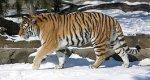 Тигр в Википедии