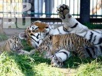 В красноярском зоопарке отпразднуют «День тигра»