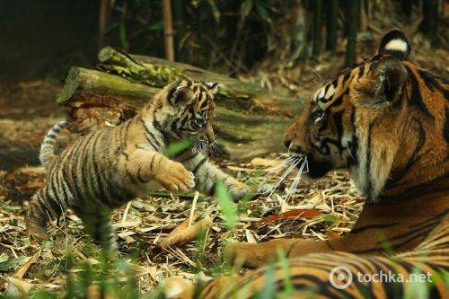 В зоопарке Австралии родились трое тигрят редкой породы (фото, видео)