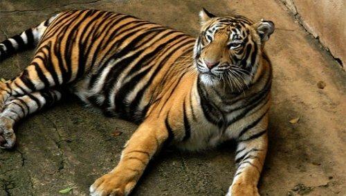 Непальские ученые перепишут тигров по отходам жизнедеятельности