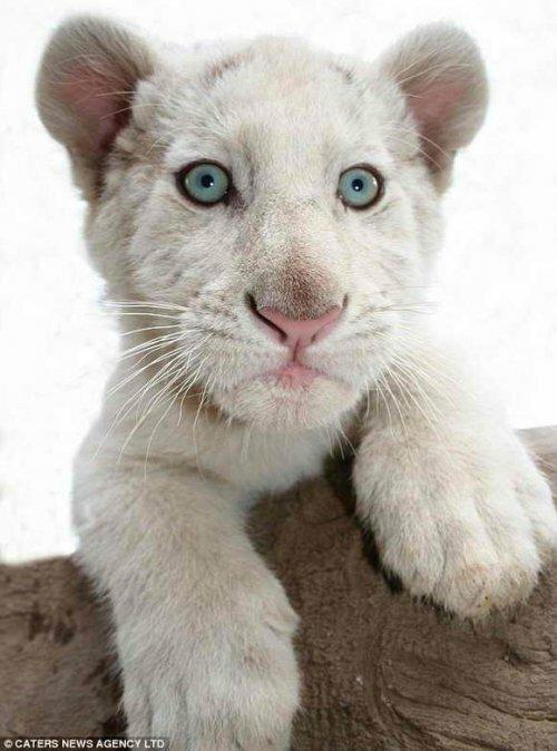 Белоснежный тигр