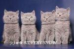 """Питомник """"Silvery Snow"""""""