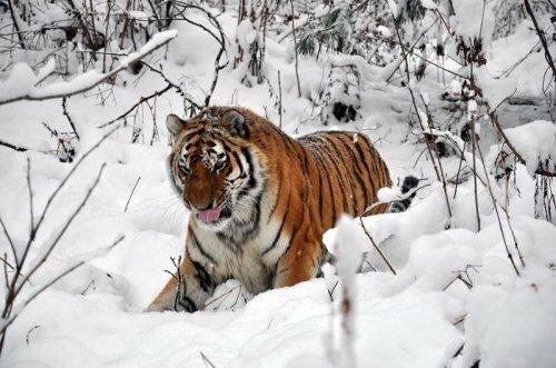 Занятие «Тигр амурский»