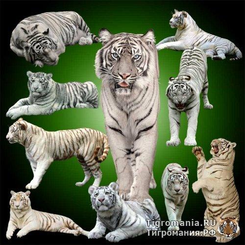 Белые бенгальские тигры в PSD