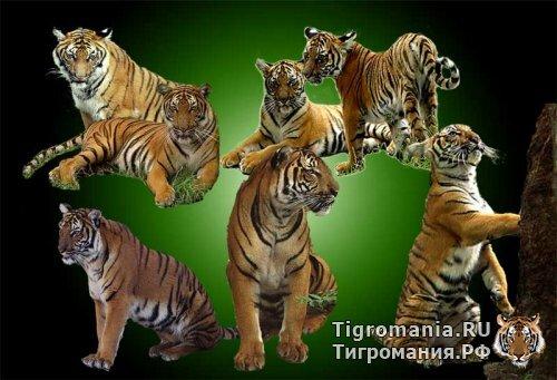 Рыжие тигры и тигрята в PSD