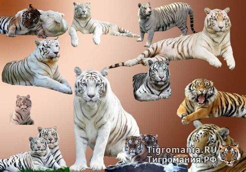 Тигры рыжие и белые в PSD