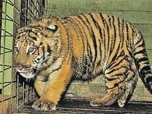 Судьба найденного в декабре в Москве тигренка остается нерешённой