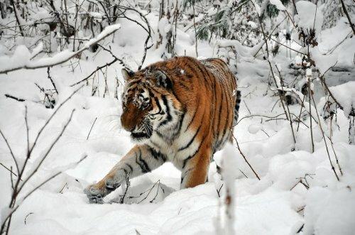 В Приморье построен реабилитационный центр для амурских тигров