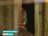 Ящик с живым тигром нашли на пустыре в московских Печатниках