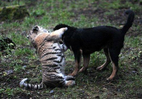 Рижская тигромания (видео)