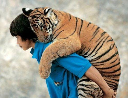 Тайские монахи хотят организовать заповедник для тигров