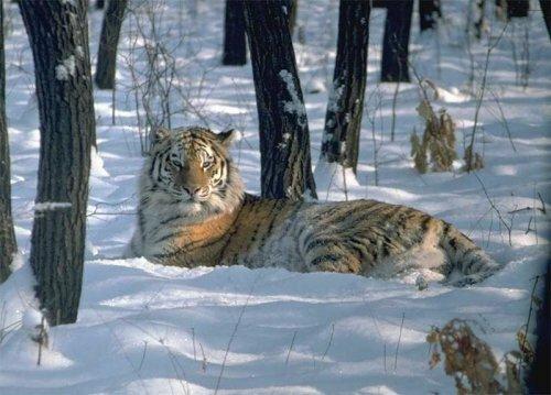 В Приморье завершился первый этап мониторинга амурского тигра