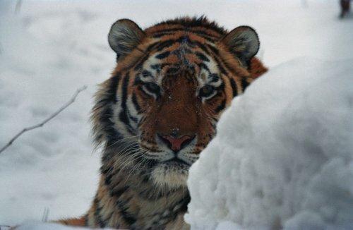Численность амурского тигра в Приморье стабилизировалась