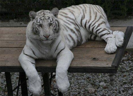 Тигрюля передумала рожать от француза
