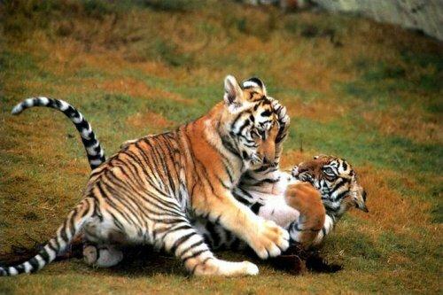 В зоопарке на юге Франции родились два детеныша амурского тигра