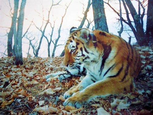 Про тигрицу Таню – дочь Лиды