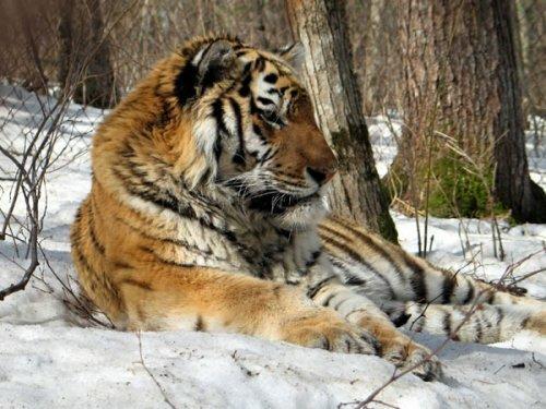 Тигр с петлёй на шее
