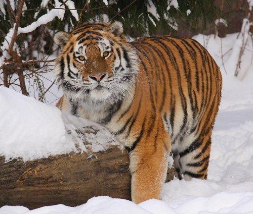 В ярославский зоопарк приедут тигры