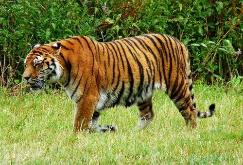 Тигр. Властелин джунглей.