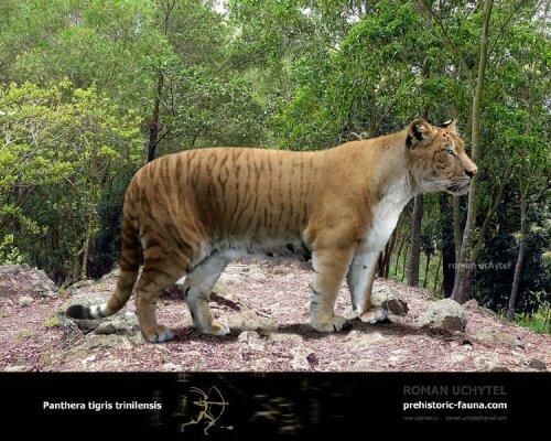 Нгадонский (тринильский) тигр