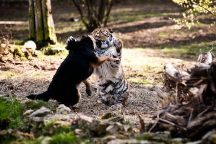 Тигрёнка Клиффа Гранта из Рижского зоосада скоро разлучат с другом