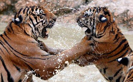 Россия и Китай будут вместе спасать диких кошек