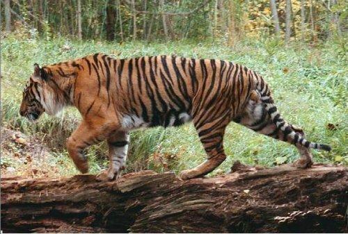 Суматранских тигров больше, чем считалось прежде