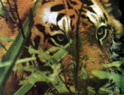 Тигр нужен живым!