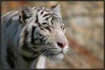 Белые тигры ВКонтакте
