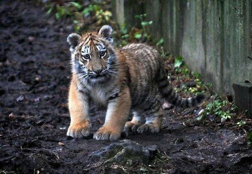 У тигрёнка Клиффа проблемы со здоровьем, прогулки прекращены