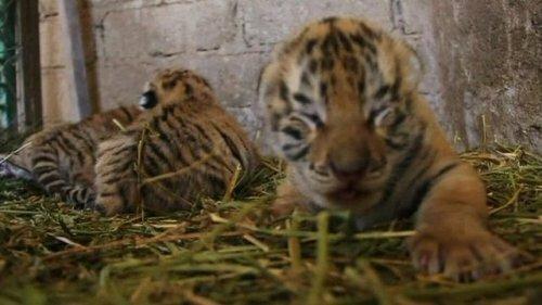 В зоопарке Мексики родились амурско-бенгальские тигрята (видео)