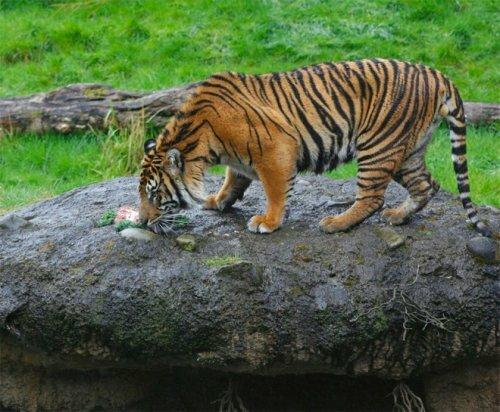 Красавец-тигр из Гонолулу