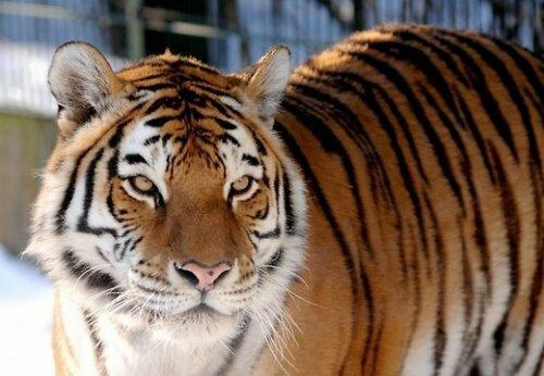 В Рижском зоопарке умер амурский тигр Вася