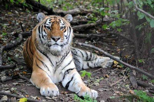 В возрасте 21 год 18 апреля 2012 года умер тигр по кличке Лютый