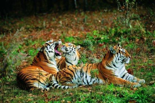 Глаза в глаза с тигром