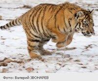 Из-за морозов тигренок Жорик не переезжает на новое место жительства