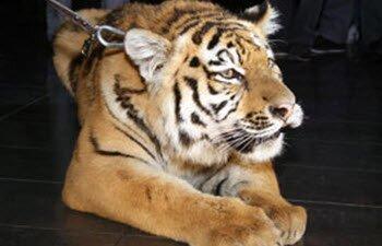Челябинский тигренок Жорик уезжает на историческую родину