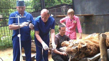 В Пензенском зоопарке заболел тигр Исатора