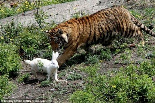 "Пензячка: ""При мне тигр в зоопарке разорвал живого кролика"""